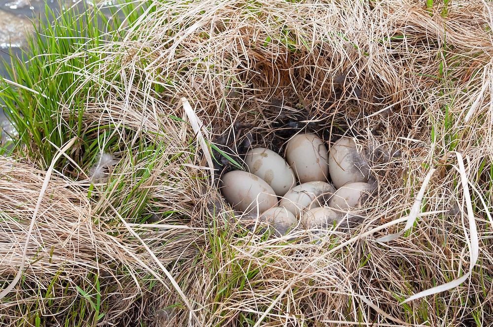 Greater Scaup, Aythya marila, nest, Yukon Delta NWR, Alaska