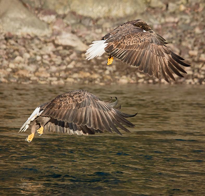 Alaska. Optical illusion of headless bald eagles in flight, Kachemak Bay.