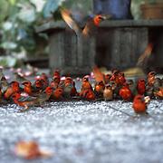 Birds feeding on rice