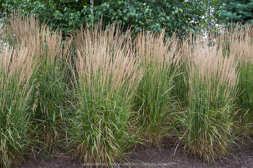 39 karl foerster 39 feather reed grass greenfuse photos for Ornamental grass bed design