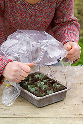 Taking leaf cuttings from a begonia using the leaf square method<br /> Covering seed tray with plastic bag