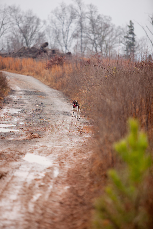 German Shorthaired Pointer running down dirt road.