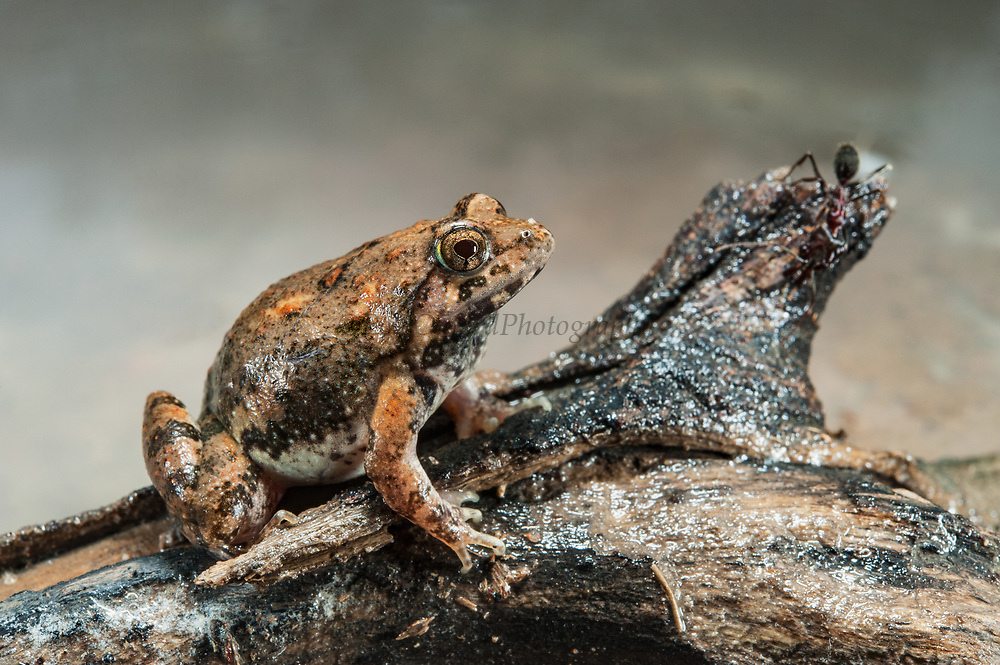 Natal sand frog (Tomopterna natalensis)<br /> Marataba, A section of the Marakele National Park, Waterberg Biosphere Reserve<br /> Limpopo Province<br /> SOUTH AFRICA<br /> HABITAT & RANGE: Variety of habitats in savanna and grassland.