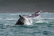 Gray whale at the surface off the Oregon coast.