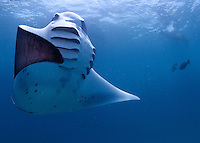 Mantas (Manta birostis) predictably found feeding in Hanifaru Bay between month of July to November.