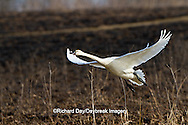 00759-00318 Tundra Swan (Cygnus columbianus) in flight at Prairie Ridge State Natural Area, Marion Co., IL