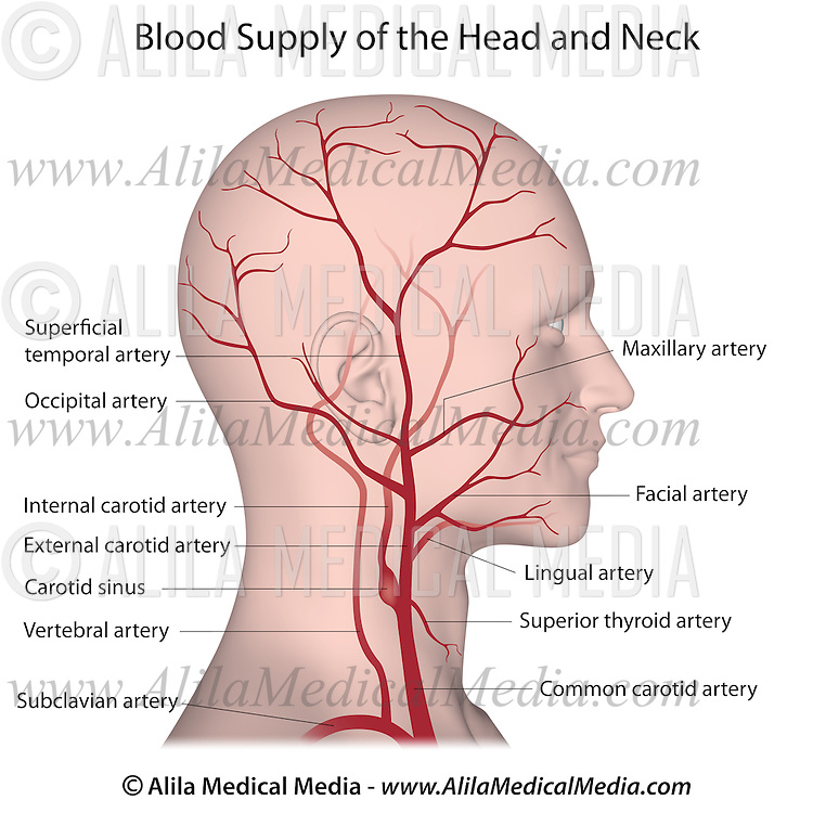 Blood supply of the head and neck | Alila Medical Images