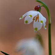 Spring snowflake with ladybird , Leucojum vernum L., Haute- Loire, Auvergne, France
