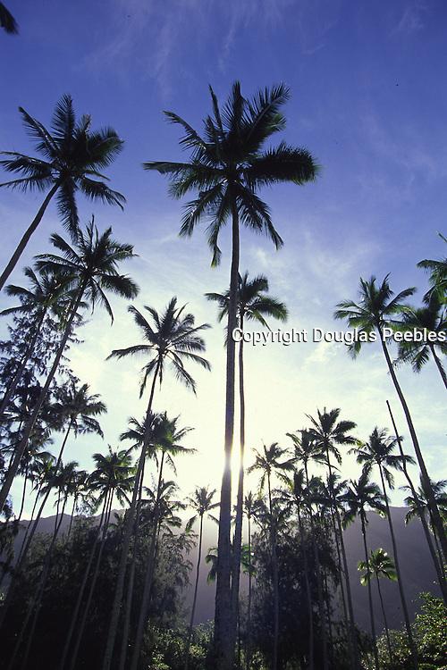Coconut Plantation, Kadavu, Fiji<br />
