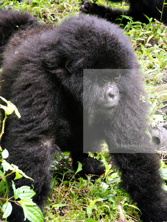 Mountain gorilla (Gorilla beringei beringei) in the Virunga National park.