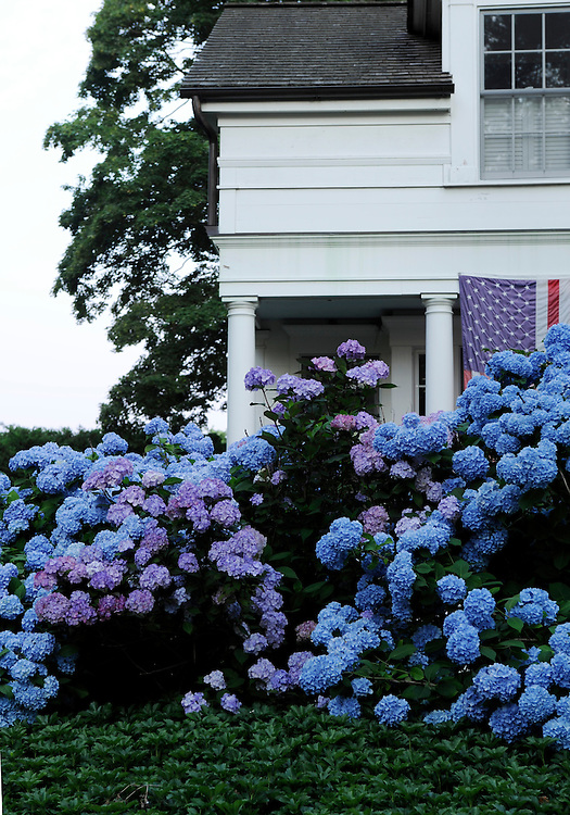 HYDRANGEA 'NIKKO BLUE' AND FLAG
