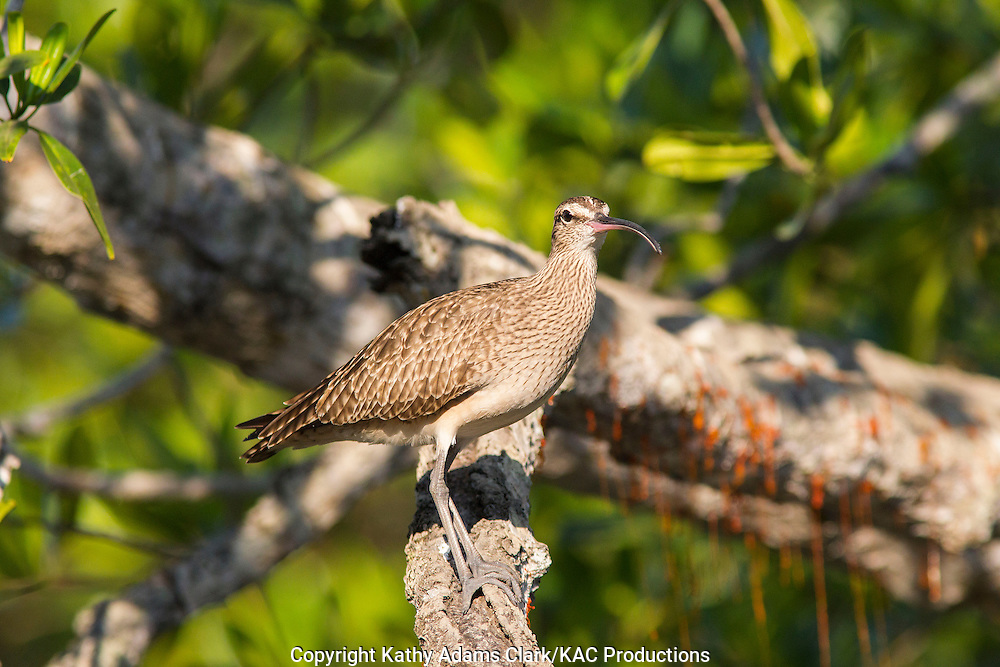 Whimbrel, perched on a branch, in the mangrove forest, of the gulf of Nicoya, guanacaste, Costa Rica.