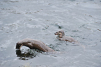 Juvenile Otter fishing / foraging by porpoising,<br /> Lutra lutra,<br /> River Tweed, Scotland - March