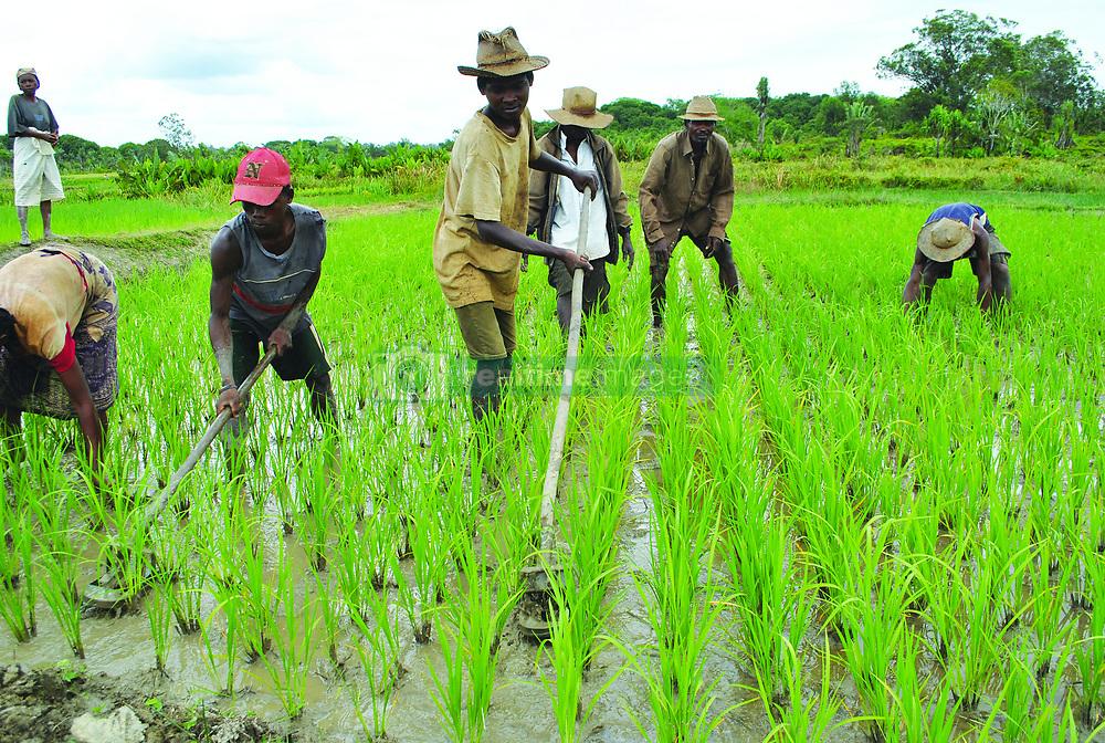 Nov. 23, 2015 - Manakara, Madagascar - Farmers work with hand too in their rice fields November 23, 2015 near Manakara, Madagascar. (Credit Image: © Jennifer Hyman/Planet Pix via ZUMA Wire)