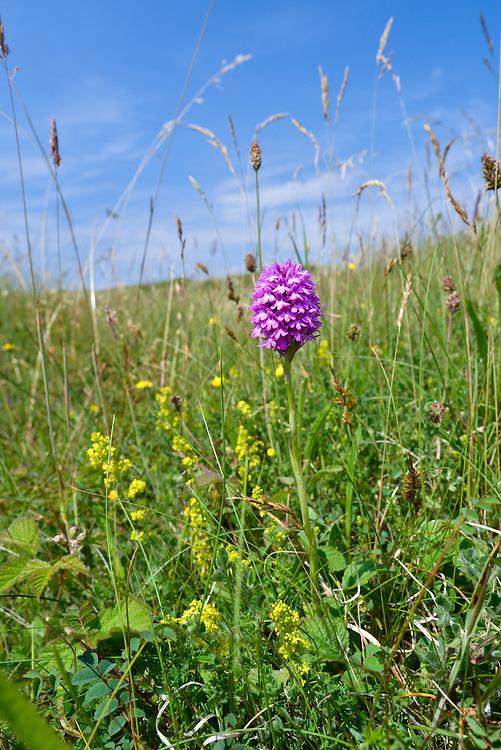 Pyramidal Orchid - Anacamptis pyramidalis at Kenfig Nature Reserve, South Wales