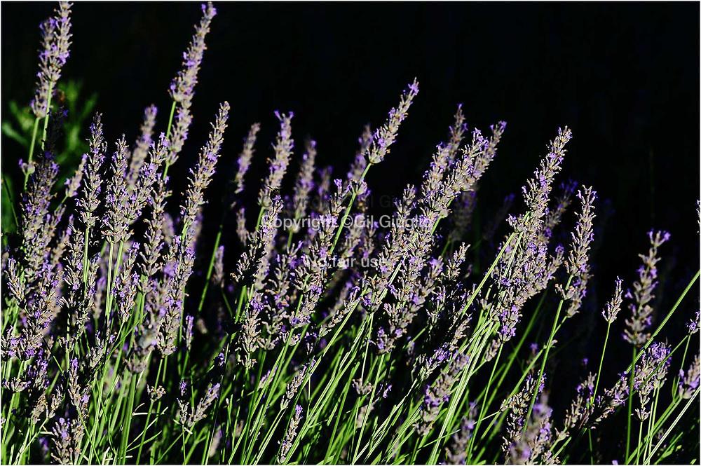 France, Auvergne-Rhône-Alpes, Drôme (26), champs de lavande au pied de Grignan // France, region of Auvergne Rhone Alpes, department of Drome, fields of lavender below Grignan