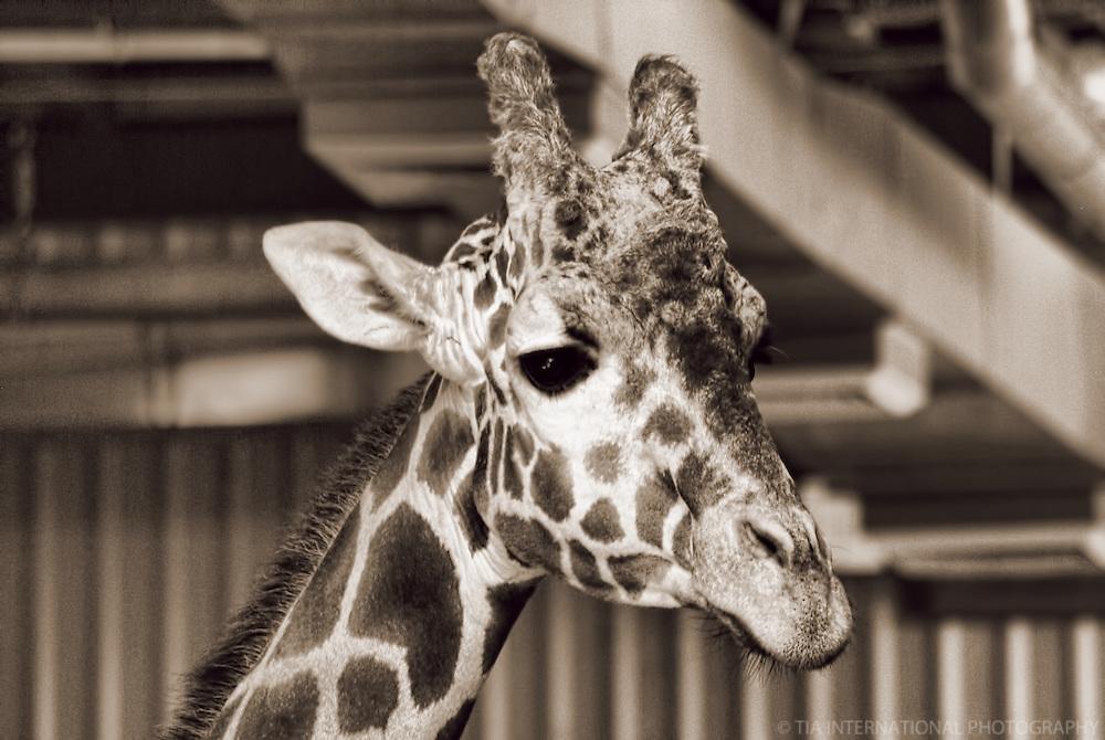 Giraffe / Woodland Park Zoo, Seattle