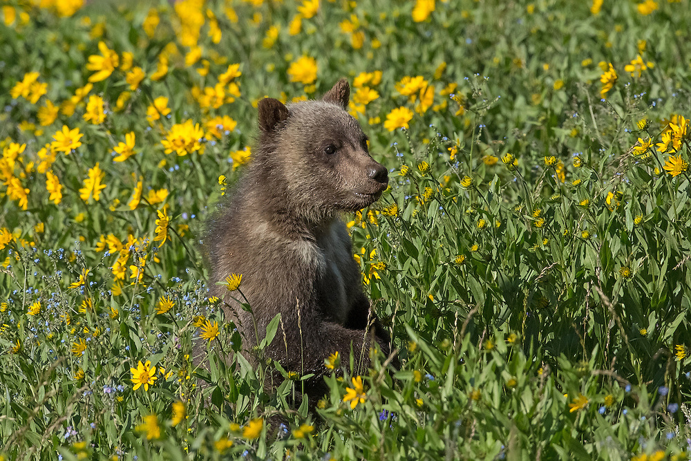 A grizzly cub peaks above the wildflowers to keep an eye on his mother who is grazing nearby.