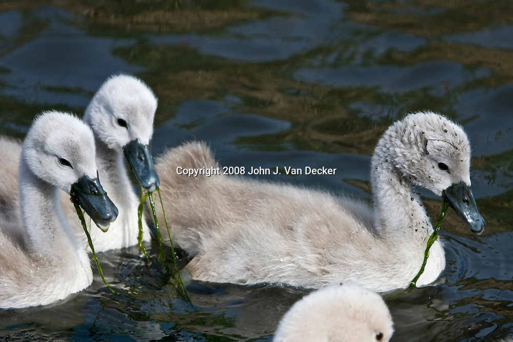 Mute Swan goslings eating swamp grass fledgling, fledglings