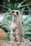 SURICATTA Meerkat (Suricata suricatta)