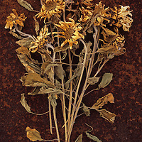 Bunch of dried Sunflowers or Helianthus lying on rusty metal sheet