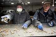 WAUSAU, WI-APRIL 09: Employees separate out the best of the ginseng at Hsu Ginseng Farm in Wausau, Wisconsin Monday, April 9, 2018. (Photo by Lauren Justice for The Washington Post)