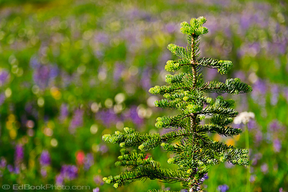 subalpine fir (Abies Lasiocarpa) against an out of focus meadow of wildflowers along the Pacific Crest Trail south of Chinook Pass in Mount Rainier National Park, Washington state, USA.