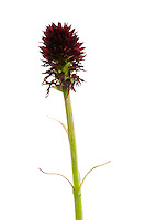 IFTE-NB-007877; Niall Benvie; Black vanilla orchid; Nigritella; nigra; Europe; Austria; Tirol; vegetation flowering plant; vertical; high key; red green white; wild; one; alpine meadow grassland; 2008; July; summer; strobe backlight; Wild Wonders of Europe Naturpark Kaunergrat