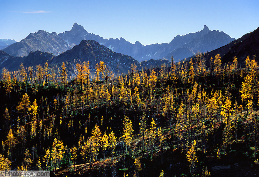 The needles of deciduous larch trees turn gold in the fall, between Harts Pass and Grasshopper Pass, on the Pacific Crest National Scenic Trail, in the North Cascade Mountains, Okanogan National Forest, Washington, USA