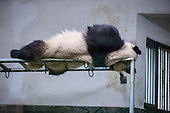 A Panda Sleeps On High Shelf