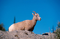 Bighorn sheep (Ovis canadensis) female, Icefields Parkway, Banff National Park, Alberta, Canada   Photo: Peter Llewellyn