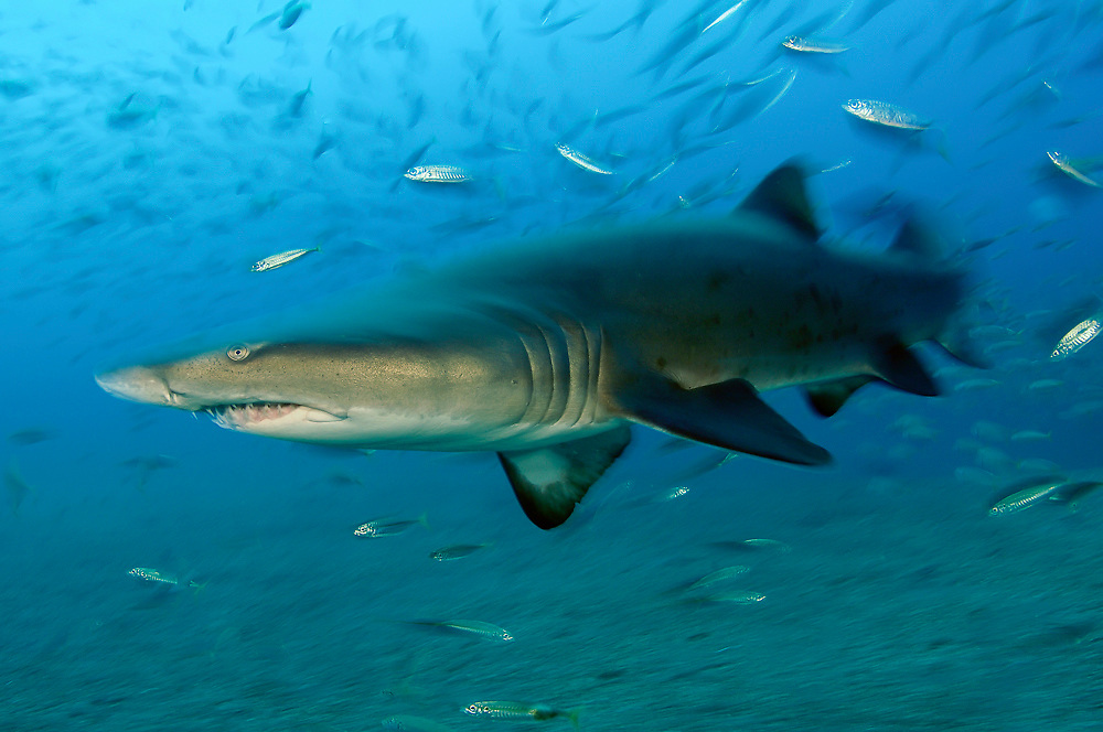 2007 Honorable Mention in the Nature's Best International Photography Awards Competition (Oceans); A Sand Tiger Shark, Carcharias taurus, swims near a shipwreck in the Graveyard of the Atlantic offshore Morehead City, North Carolina. This species is known as the ragged tooth shark in South Africa and as the Grey Nurse in Australia. Threatened. IUCN Red List Image available as a premium quality aluminum print ready to hang.