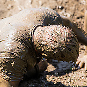 Tough Mudder Obstacle Course Aug 15 2015 Toronto Ontario. Electroshock Therapy