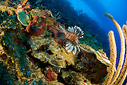A lionfish lurks off the reef wall around halfmoon cay in Belize.