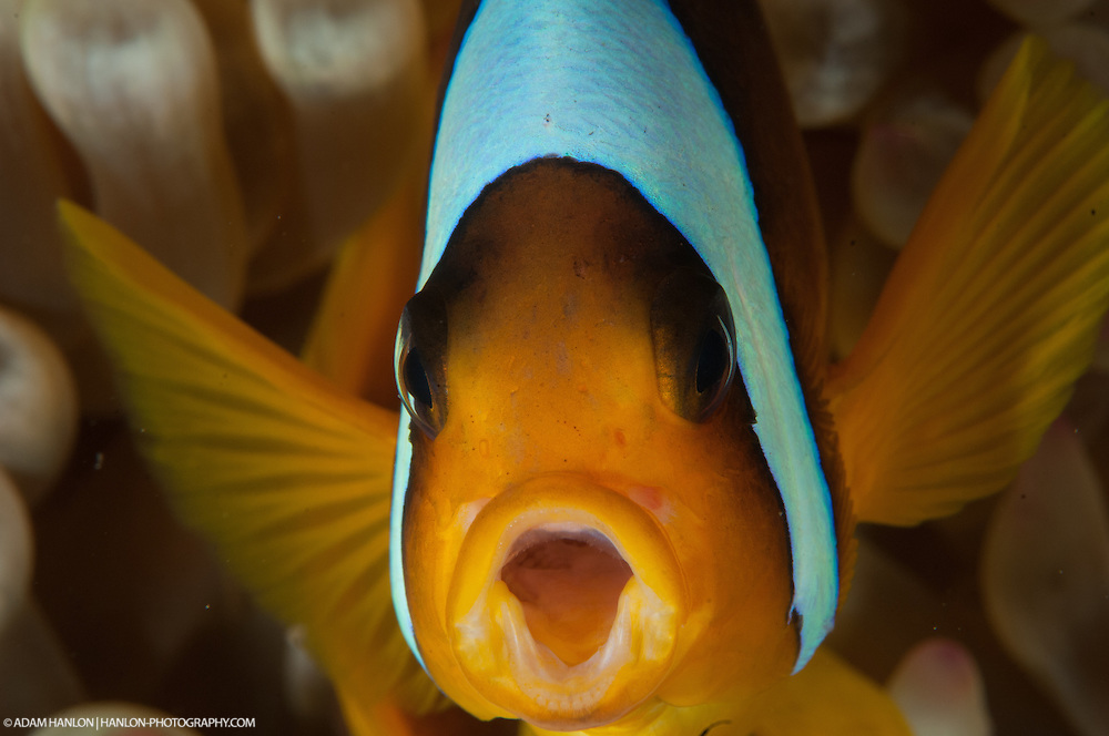 Anemone fish threatens me if i come any closer.