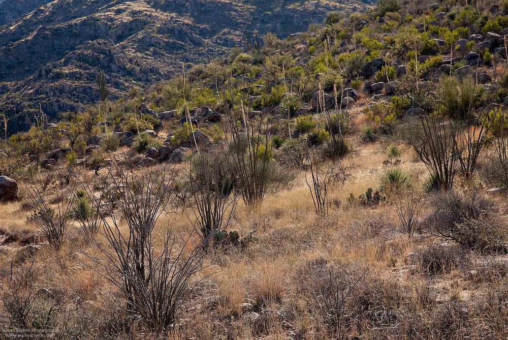 Sonoran Desert hillside in Catalina State Park in Arizona