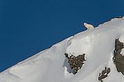 Wild Arctic fox in Iceland. Winter images in Hornstrandir area.