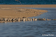 crested tern chicks, Sterna or Thalasseus bergii, start to swim across a pond formed as rising tide floods the interior of Turu Cay, Torres Strait, Queensland, Australia. Erosion, probably exacerbated by global warming and sea level rise, has greatly reduced the size of this island and threatens the nesting seabird populations.