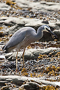 White-faced Heron, eating mud crab, Kaikoura, New Zealand