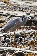 White-faced Heron, eating mud crab, Kaikoura, New Zealand