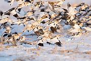 Snow Buntings, Plectrophenax nivalis, Tuscola County, Michigan