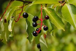 Amerikaanse vogelkers, Prunus serotina
