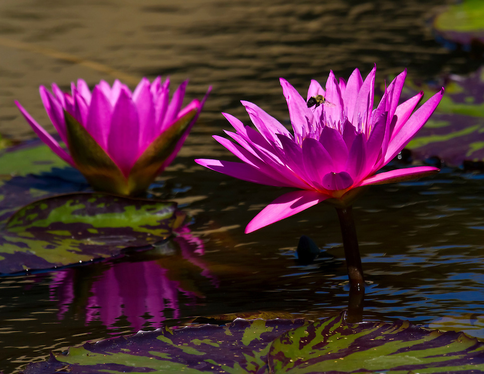 Two deep purple water lilies at the lily pond.