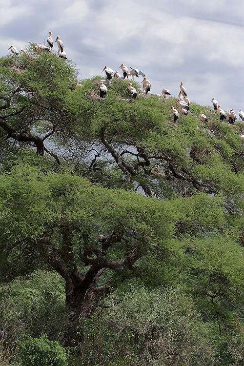 (Mycteria ibis) A Colony of Nesting Yellow-billed Storks High Atop an Acacia Tree, Lake Manyara National Park, Tanzania