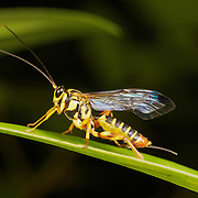 The Ichneumonidae are a family within the order Hymenoptera. Insects in this family are commonly called ichneumon wasps.
