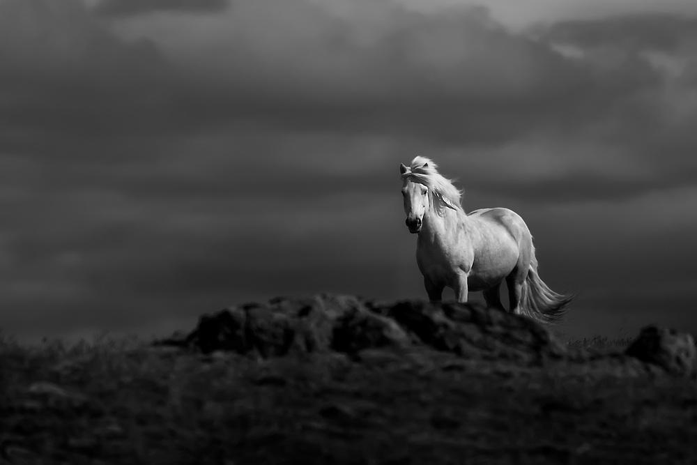 Icelandic horse monochrome
