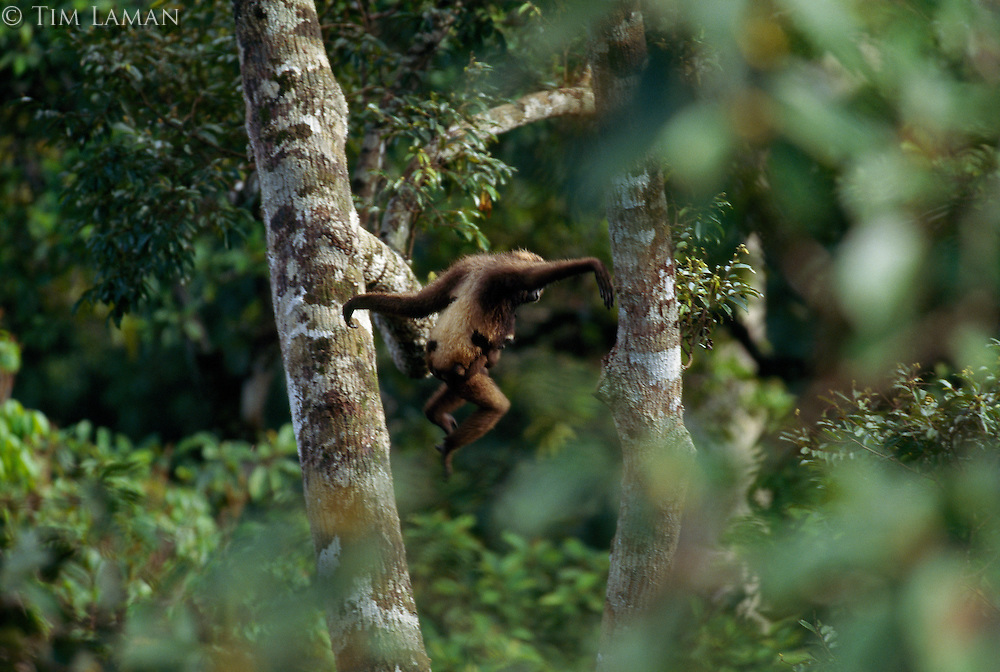 A Bornean White-bearded Gibbon (Hylobates albibarbis) with young clinging to her as she swings through the rai n forest canopy in search of strangler figs to eat.  Gunung Palung National Park, Borneo, Indonesia.