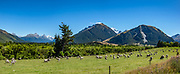 Sheep graze on Rees Station in the Rees Valley under snowy Mt Earnslaw (or Pikirakatahi 2830m / 9249 ft) in Otago region, South Island of New Zealand. In 5 days, we tramped the strenuous Rees-Dart Track for 39 miles plus 12.5 miles side trip to spectacular Cascade Saddle, in Mount Aspiring National Park, Southern Alps, Otago region, South Island of New Zealand. This image was stitched from multiple overlapping photos.