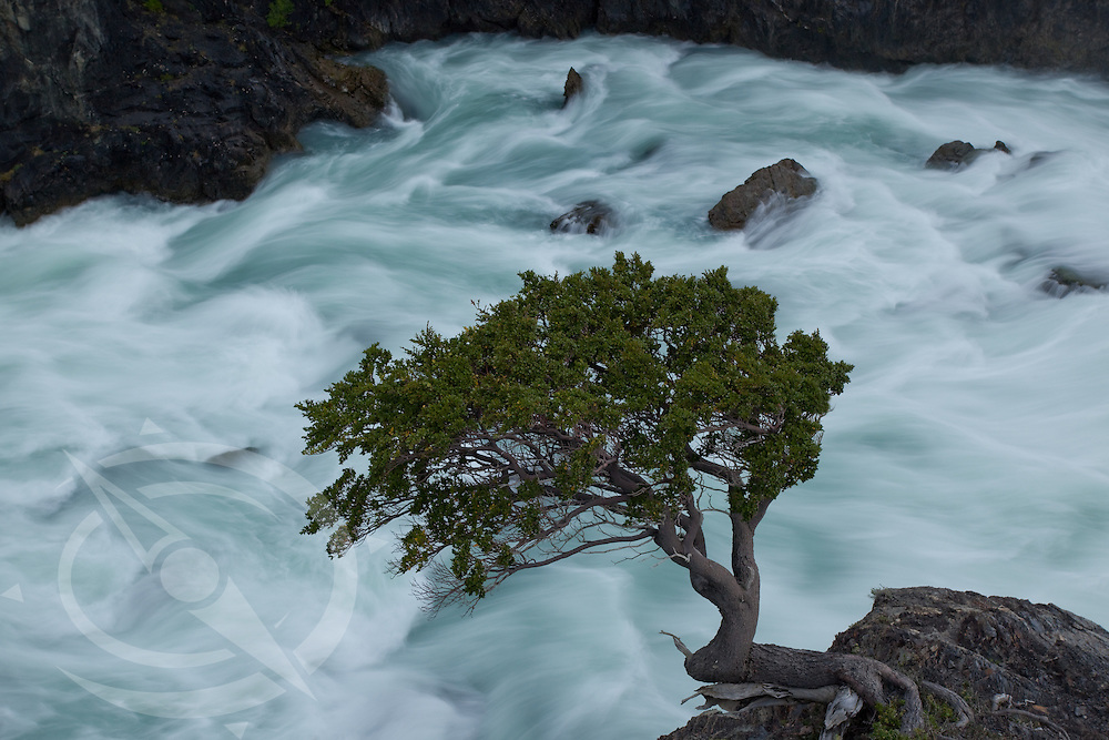 A lone lenga tree hangs precariously above a raging glacial current in Torres del Paines, Patagonia, Chili