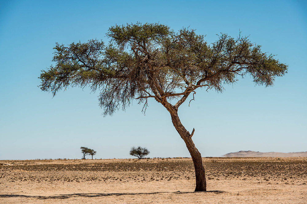 Acacia trees in the Namib desert, located in Namibia, Africa.